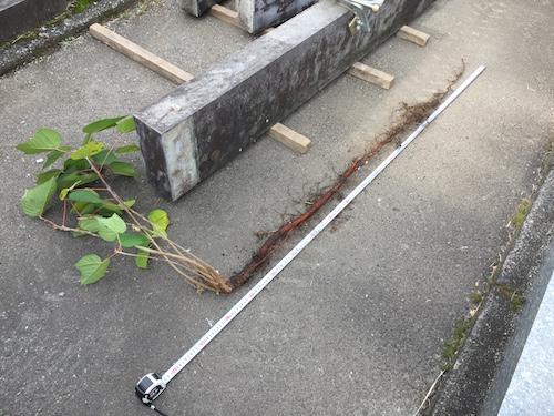 墓石の雑草